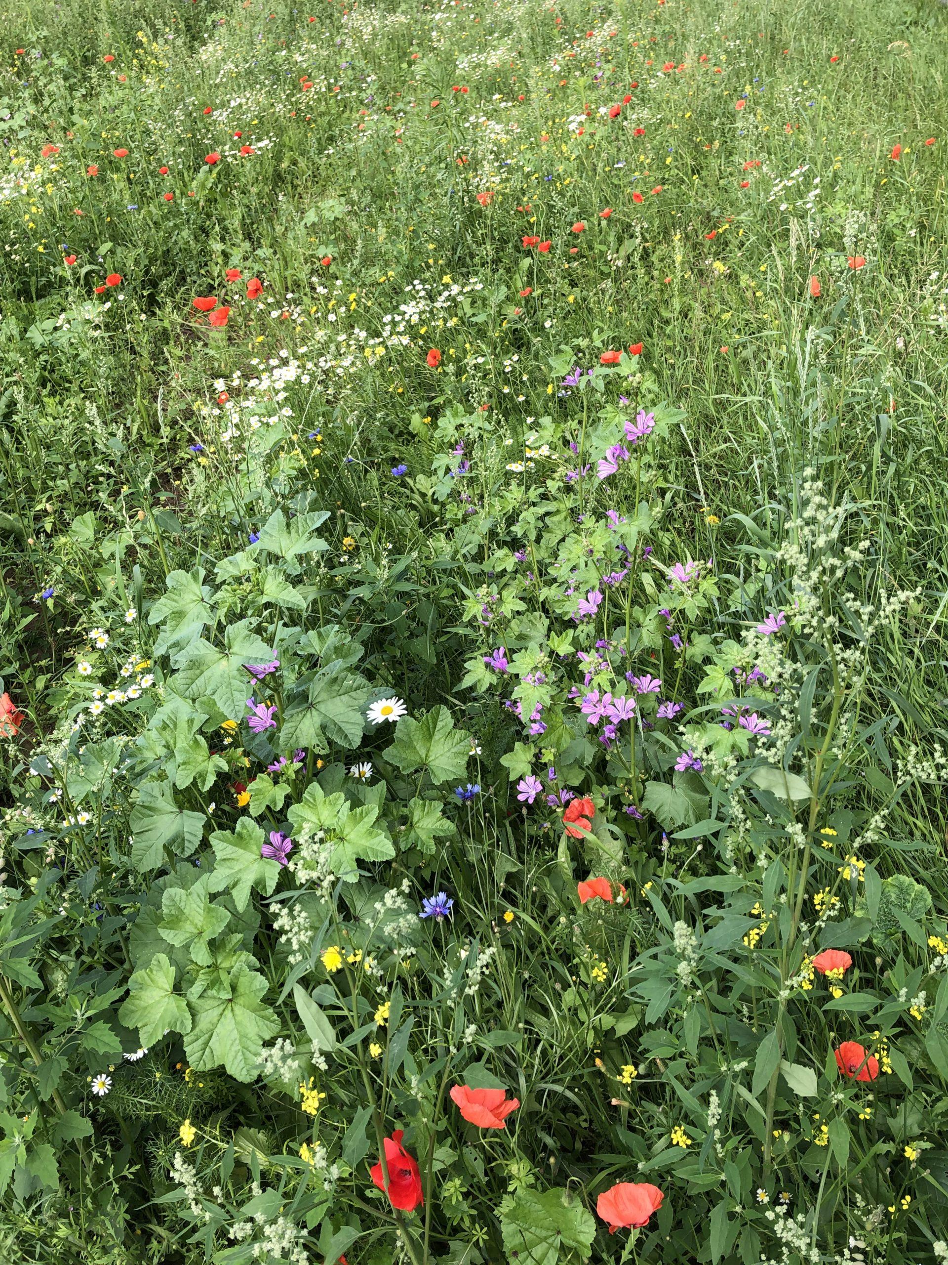 Unsere Blühwiesen im Sommer